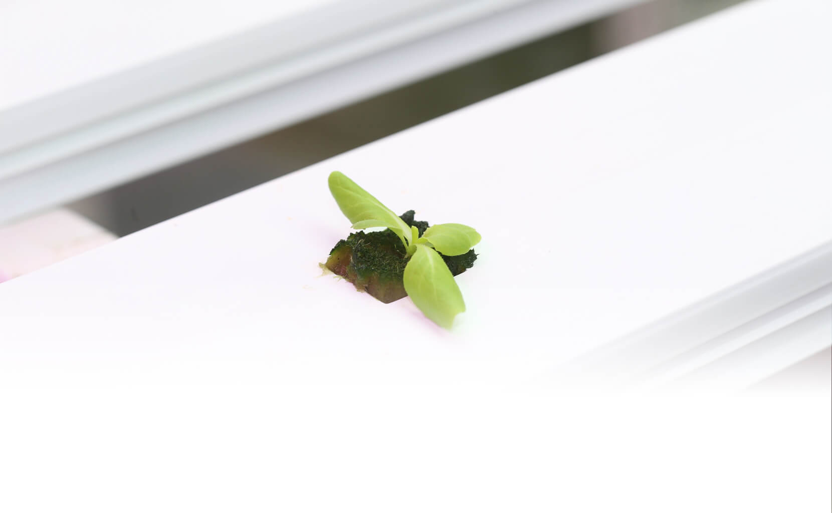 A single, hydroponic plant