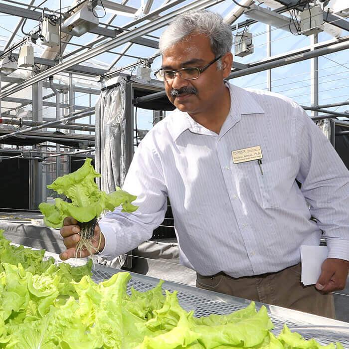 Krishna Nemali inspecting lettuce in a greenhouse