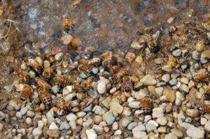Honey bees on rocks near water
