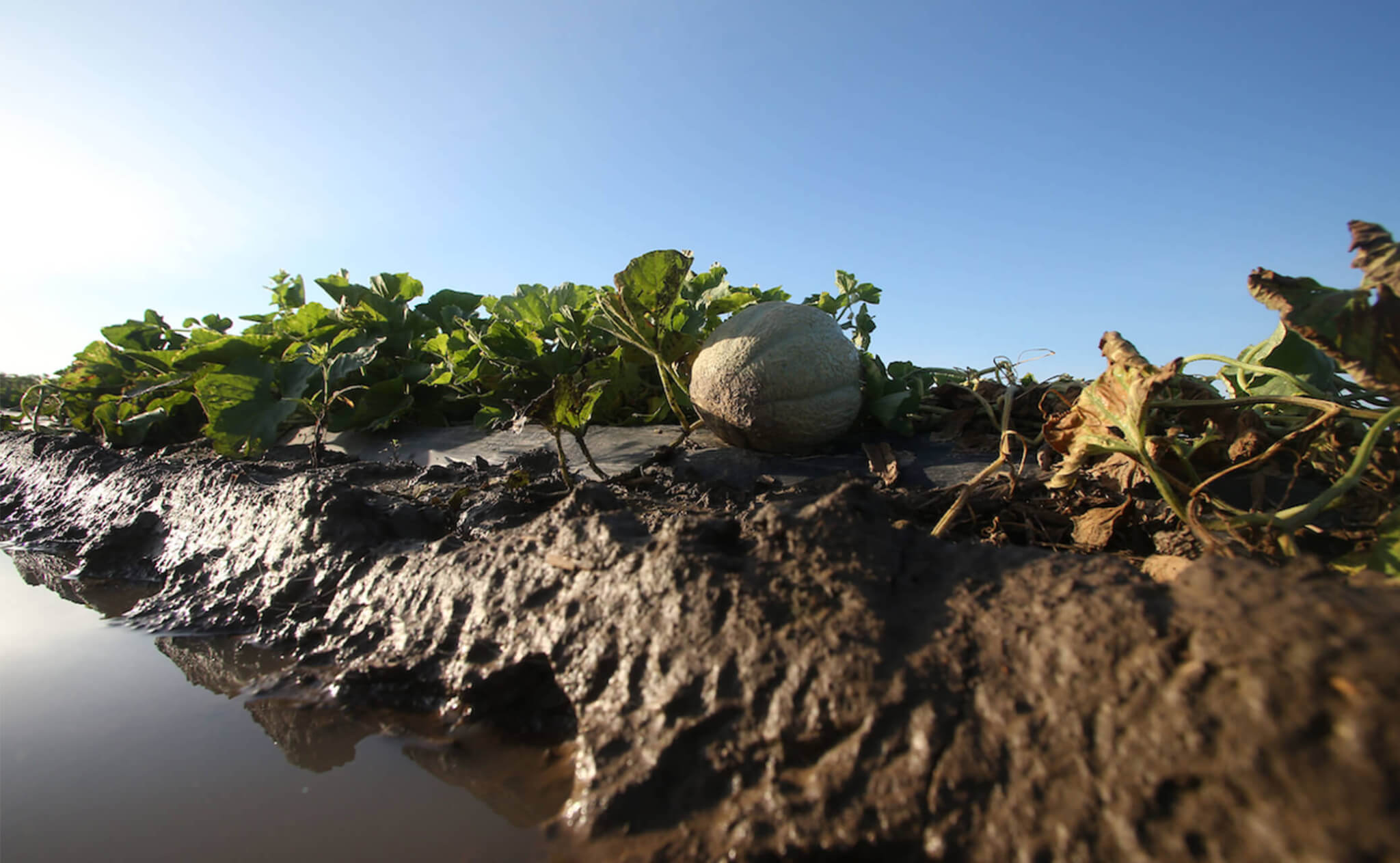 Melon in a flooded field