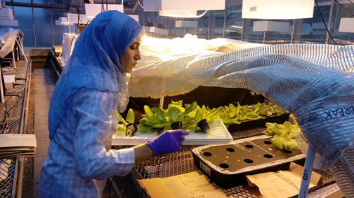 Reham Mohamed at the greenhouse during lettuce plant harvesting