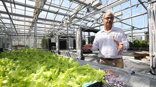Krishna Nemali teaching about hydroponic lettuce in a greenhouse