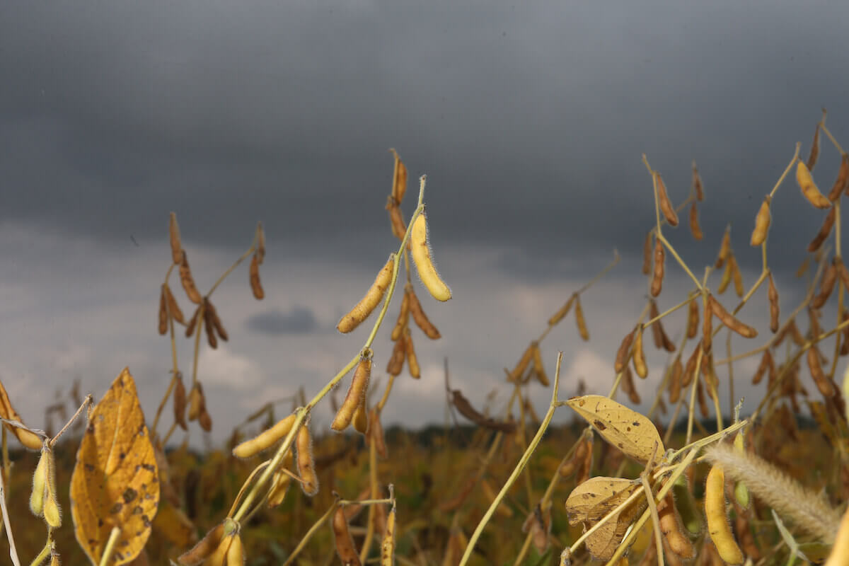Soybeans with a storm looming