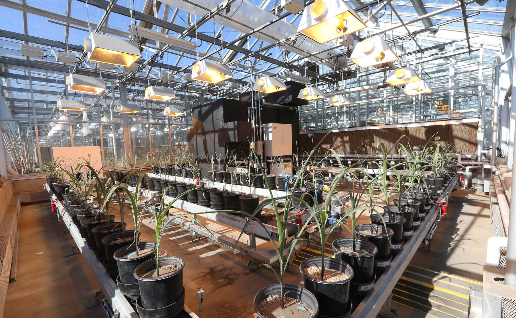 Plants in a phenotyping greenhouse on a conveyor belt