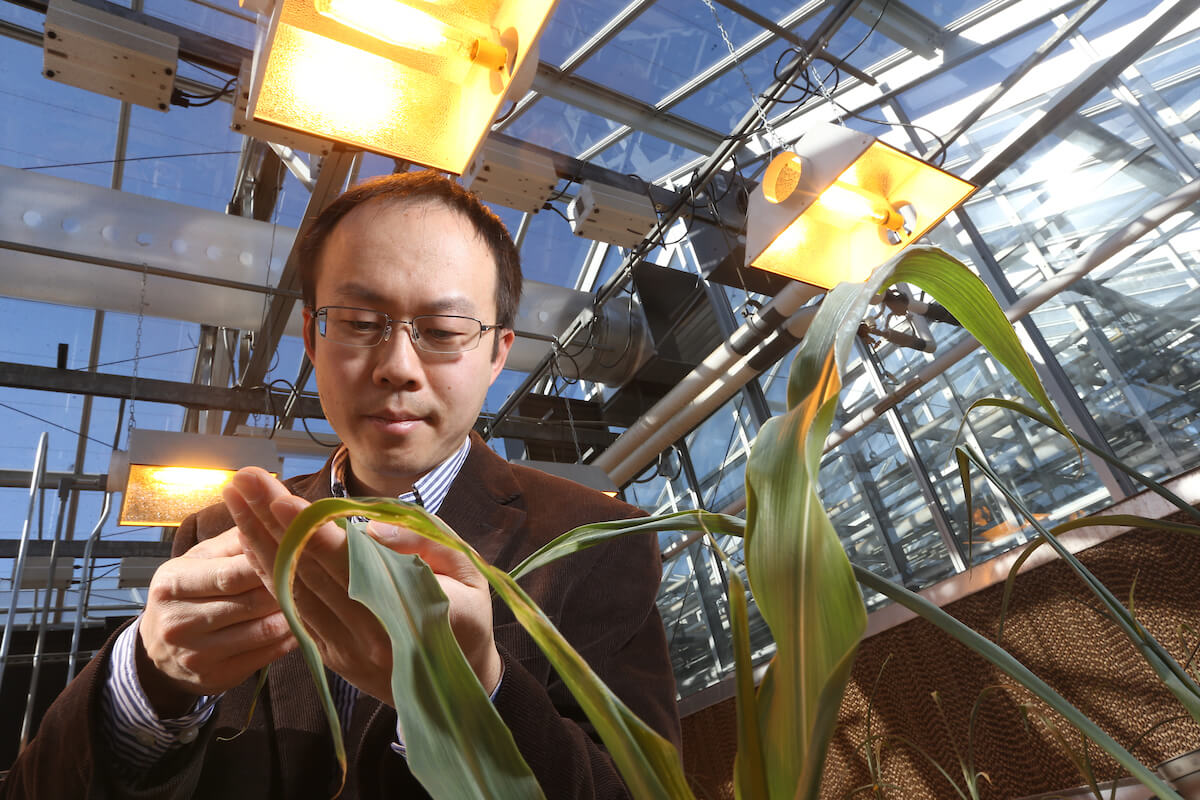 Jian Jin examines a plant by hand in the greenhouse