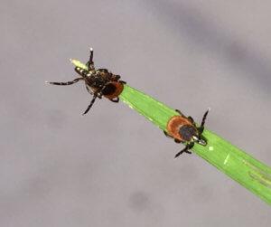 Ticks on leaf
