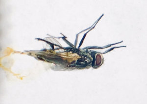 Close-up of a fly