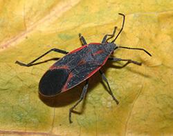 Boxelder bugs are often mistaken for kissing bugs. Photo Credit: John Obermeyer for Purdue Univeristy.