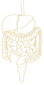 A line drawing of the human digestive system.