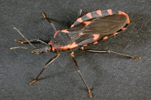 Photo of a kissing bug, which has a flat, cup-shapped abdoment.  Photo credit: Photo Credit:James Gathany for Center for Disease Control and Prevention