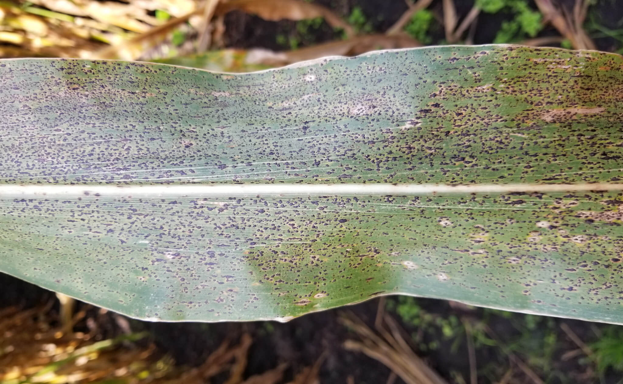 A Corn Leaf with Tar Spot