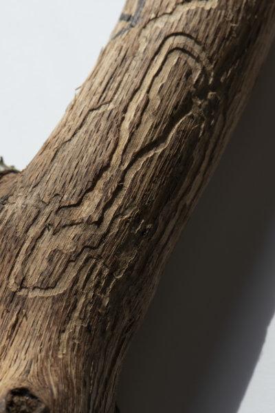 Pigula branch
