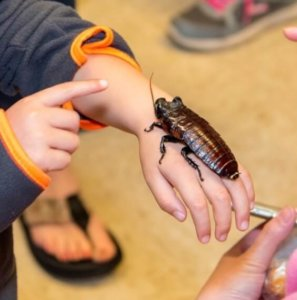 child holding a madagascar cockroach