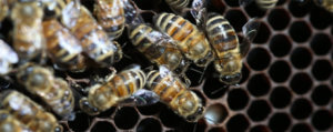 Photos of tiny Varroa mites on bees that are endangering the bee population.