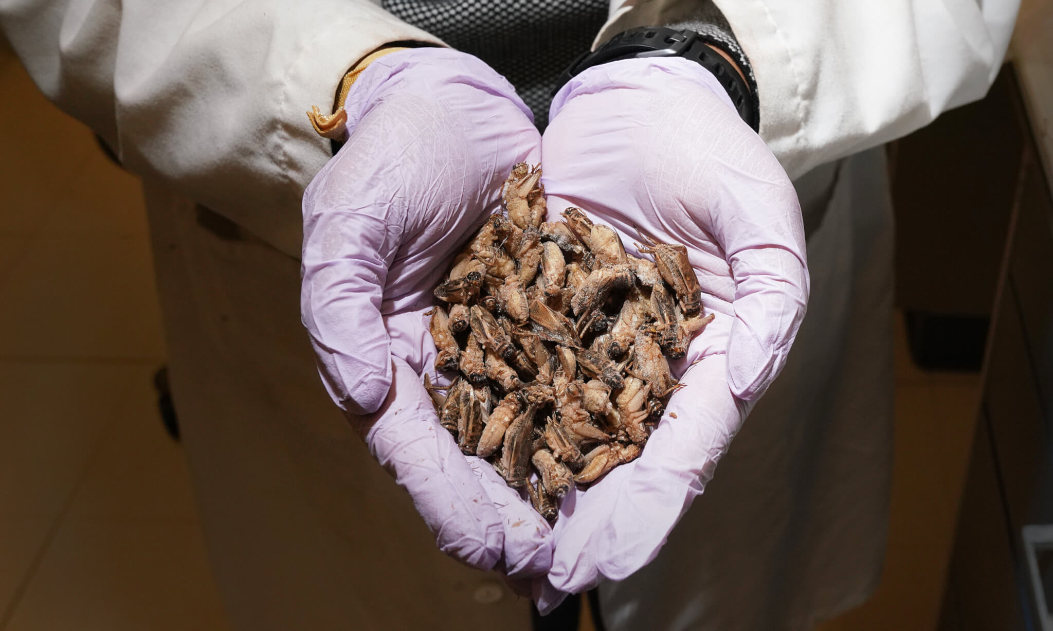 A handful of crickets that Hall and Liceaga use in their research.
