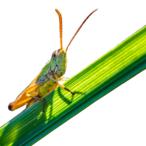 close-up-photo-of-grasshopper-2716982