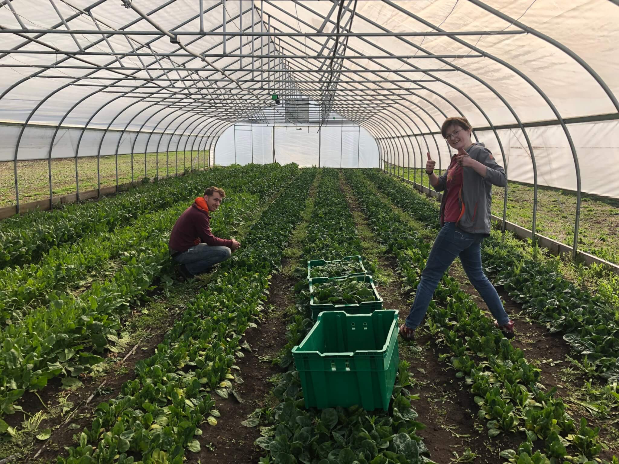 Students working at the Purdue Student Farm to harvest and deliver leafy greens to local food banks.