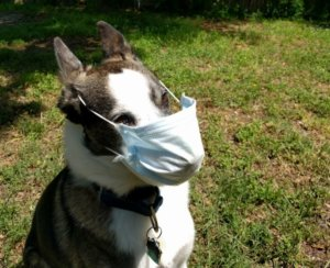 Dog wearing a face mask.