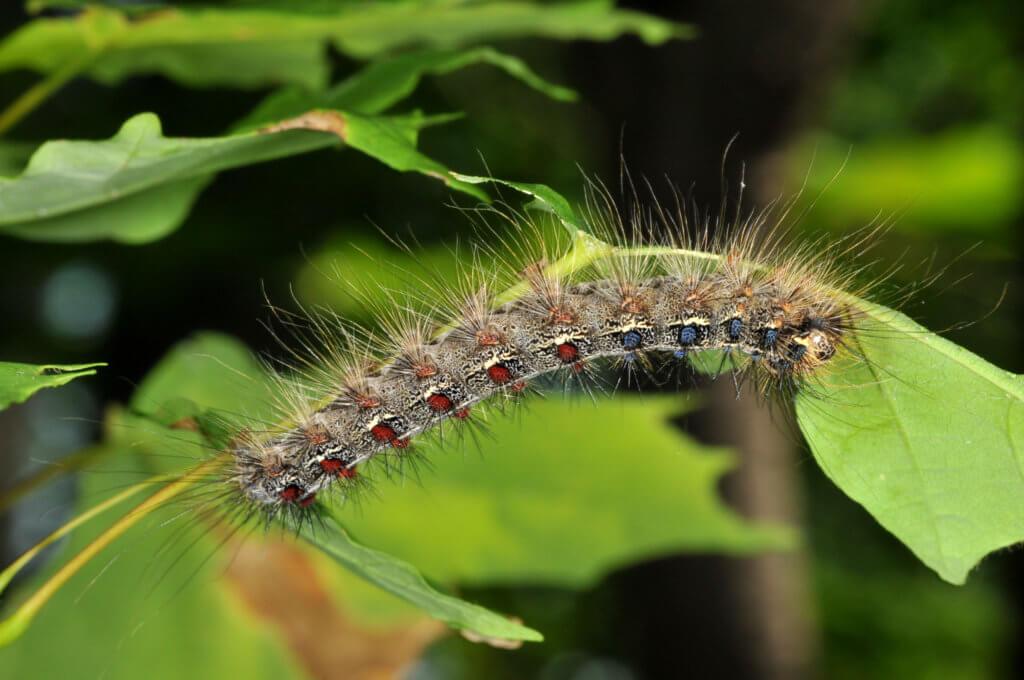 Gypsy moth (Lymantria dispar dispar) in caterpillar form.
