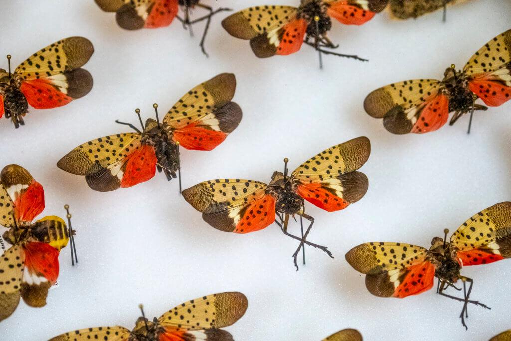 Spotted lanternfly (Lycorma delicatula)