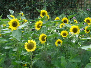 Bagatelle Sunflowers