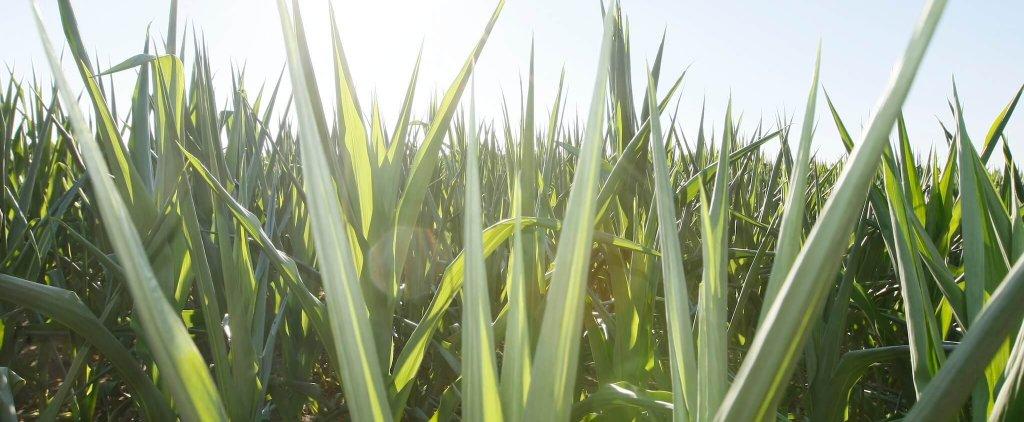 Corn in sun
