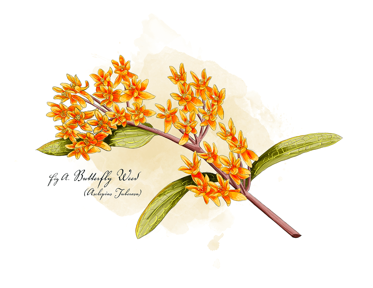 Butterfly weed, one of many pollnator friendly plants that can makeup a pollinator garden. All illustrations are of potentila plant species for pollinators.