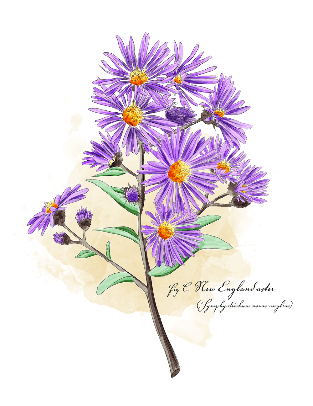 New England Aster, one of many pollnator friendly plants that can makeup a pollinator garden. All illustrations are of potentila plant species for pollinators.