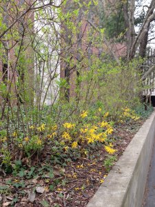 Forsythia with blooming flowers along bottom of plant
