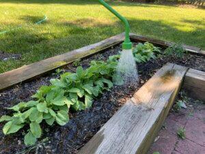 Hand watering the garden