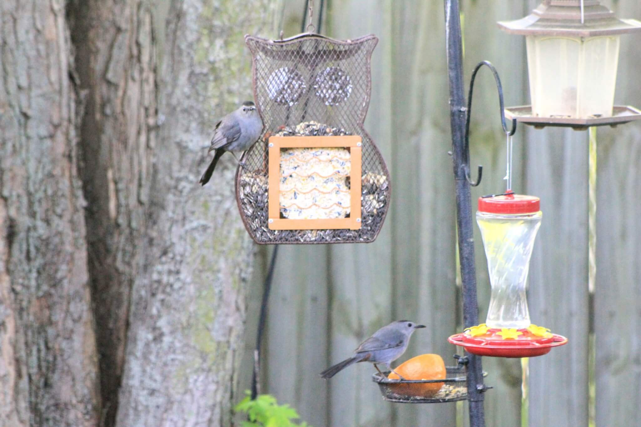Gray Catbirds on feeders