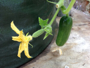 Cucumber flower and fruit