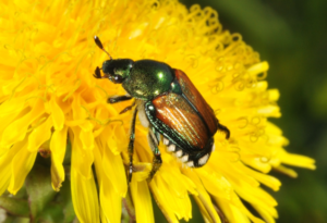 Japanese Beetle on Dandelion