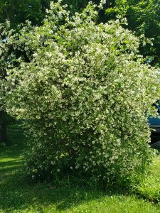 Mockorange shrub