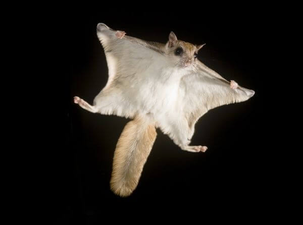 Southern flying squirrel (Glaucomys volans).