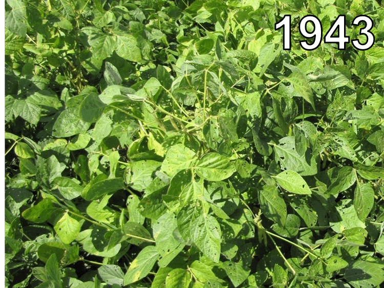Soybeans from 1943