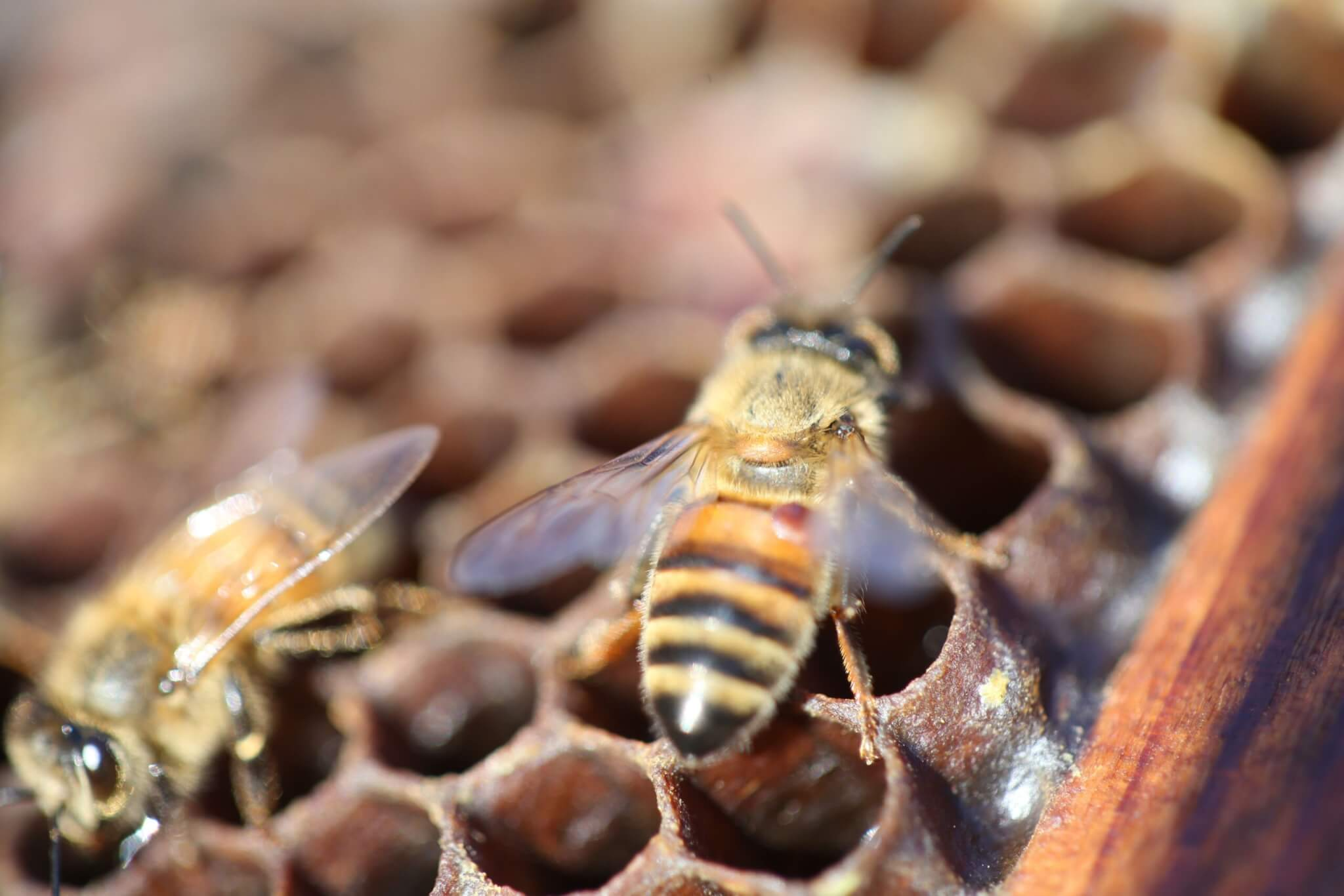 Bees – 10/24/16 – Photos of tiny Varroa mites on bees that are endangering the bee population. For a research story by Natalie van Hoose.