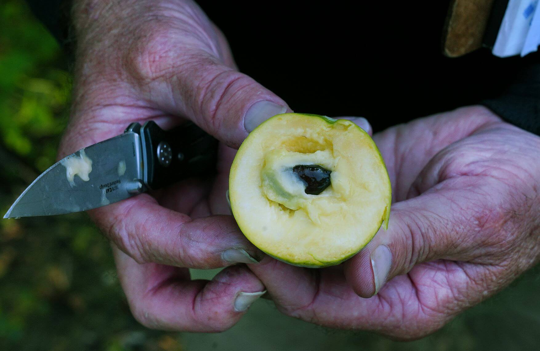 Bruce Bordelon, professor of horticulture, shows off the inside of a pawpaw fruit. Photos by Tom Campbell.
