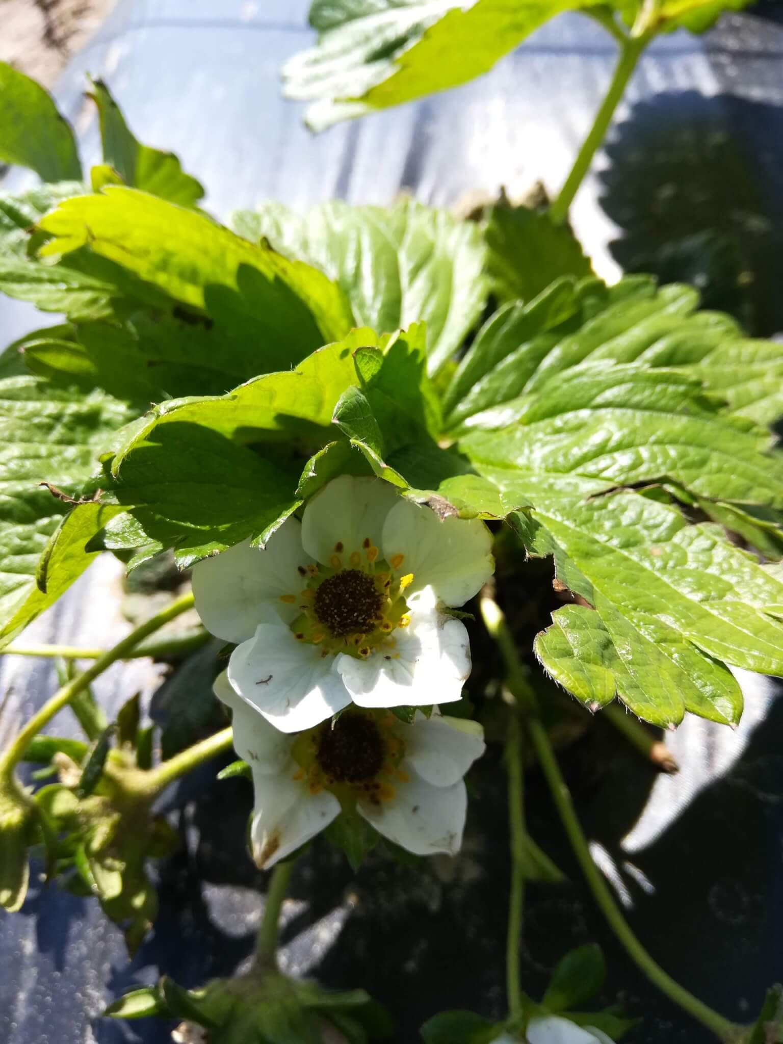 Strawberry plant frost damage.