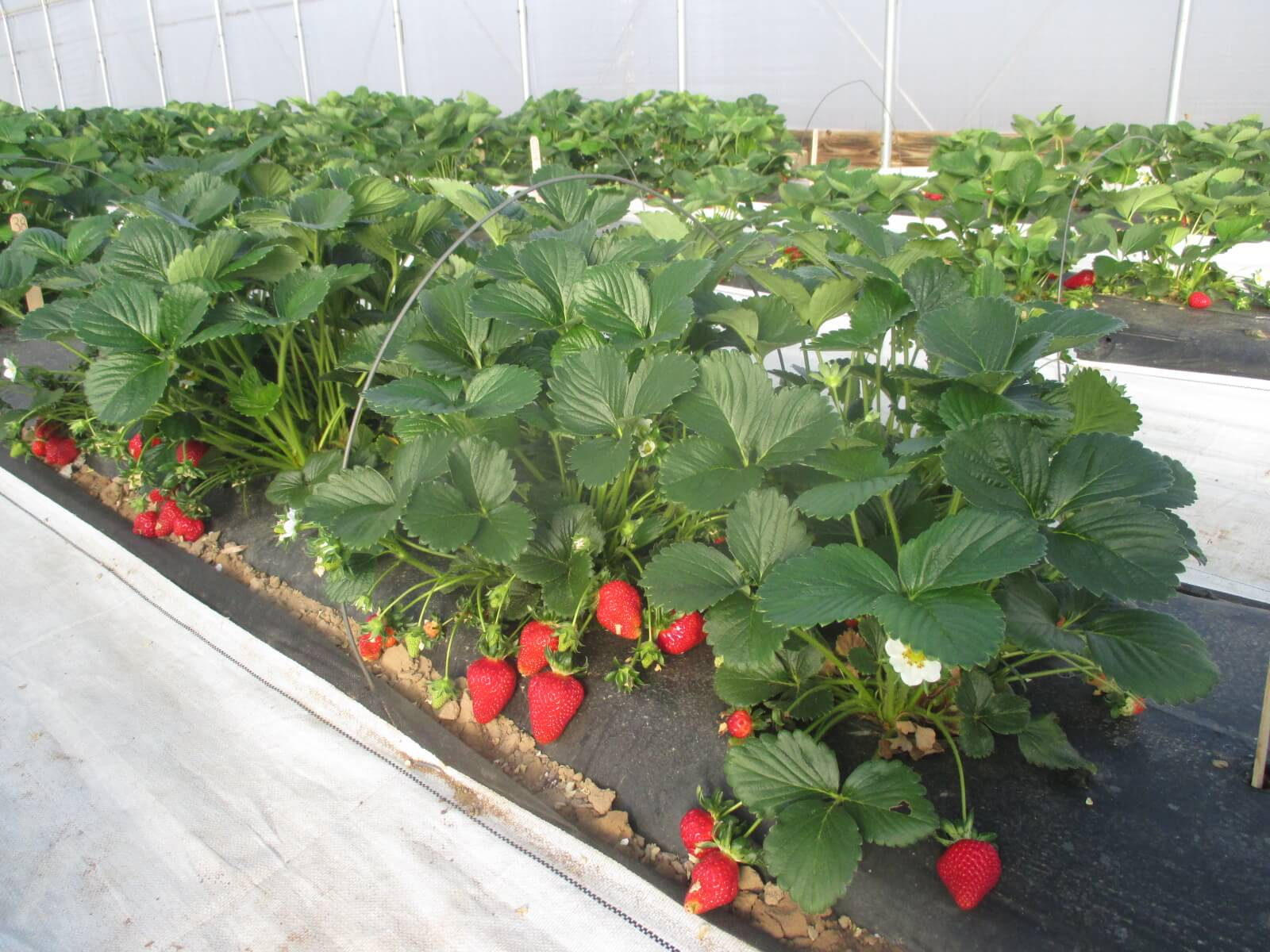 Strawberries growing in a high tunnel production system.