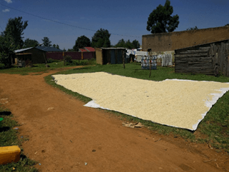 Maize stored on ground in Sengal