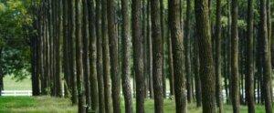 Hardwood plantation