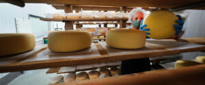 Purdue Ag Alumni Swiss Cheese being made