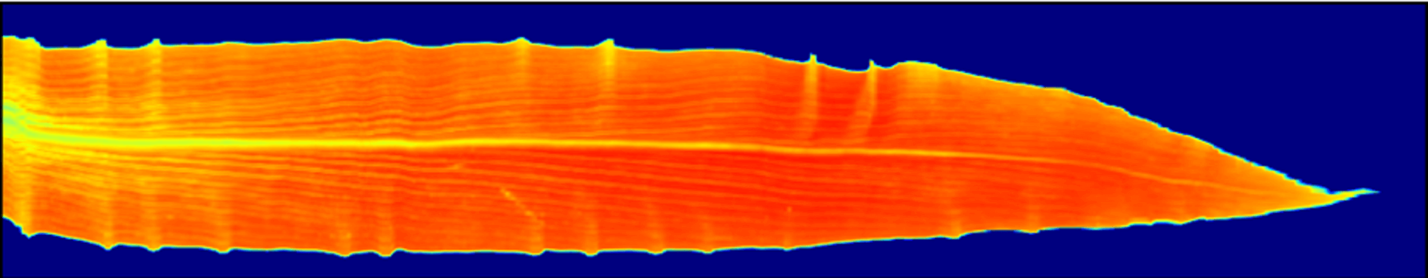 NDVI Heat Map of Corn Leaf