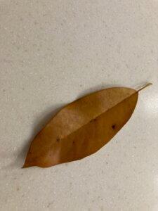 Callery pear leaf