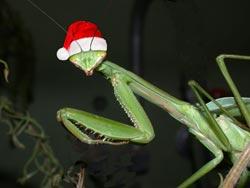Praying mantis with santa cap on