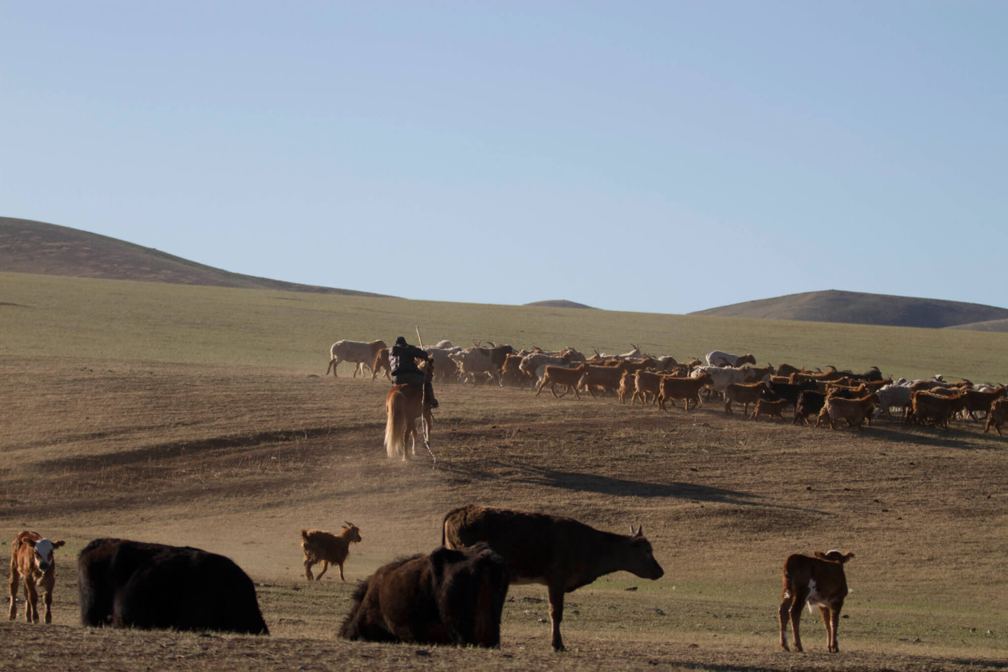 In the grasslands of Mongolia, herders round up animals. For generations, sound has been a significant part of the herding culture. (Photo provided by Bryan Pijanowski)