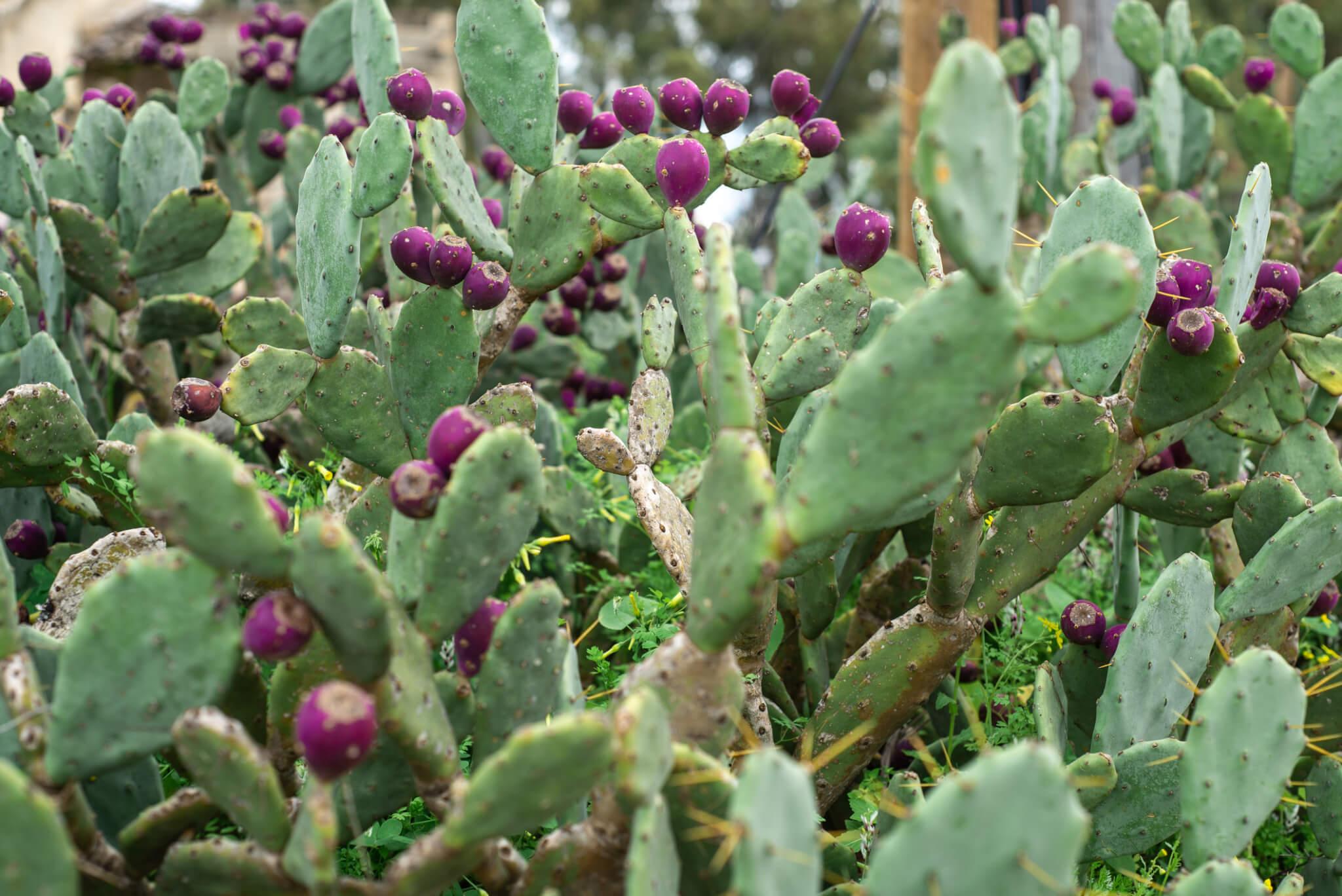 Eastern Prickly Pear Fruit