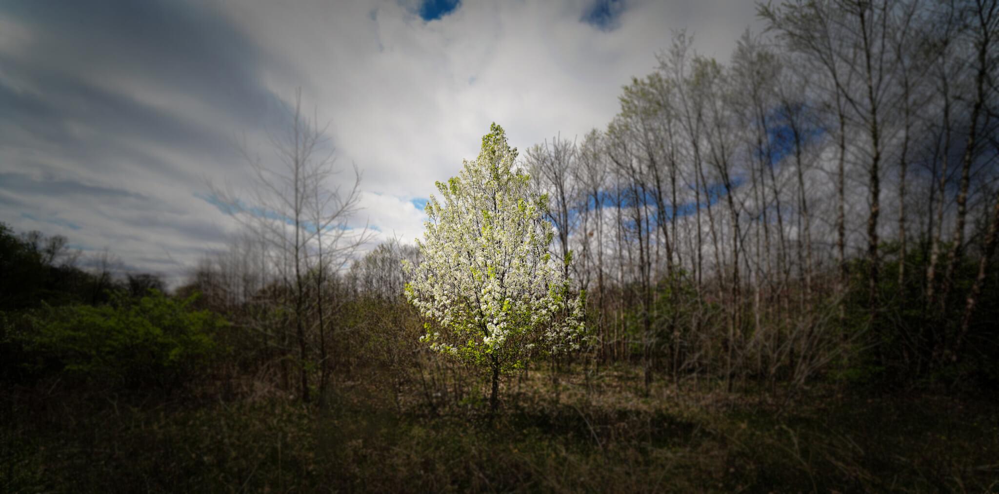 A lone pear tree