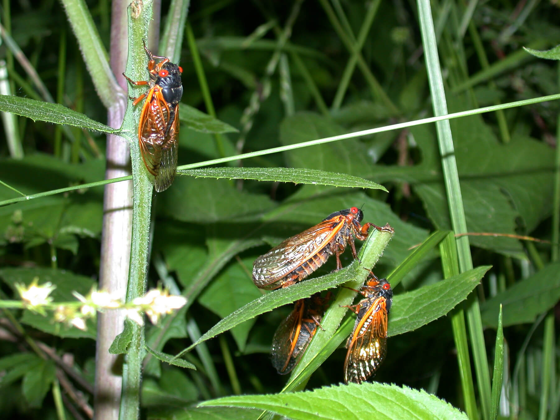 Cicadas on leaves